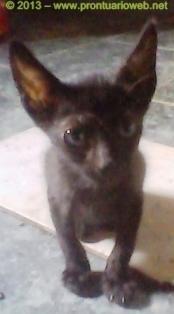 gatos toxoplasma 2 prontuarioweb