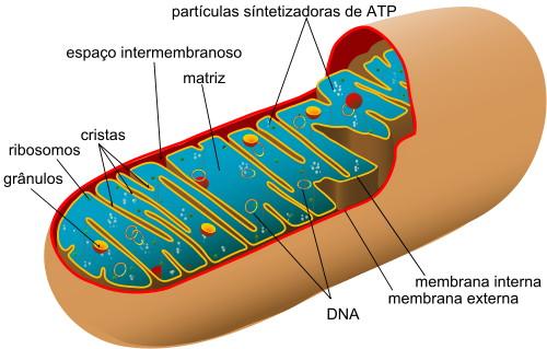 Diagrama de mitocôndria humana.